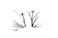 Icelandic wild plants in black and white